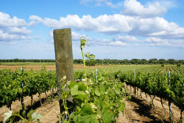 vigneto-salento-uva-vino