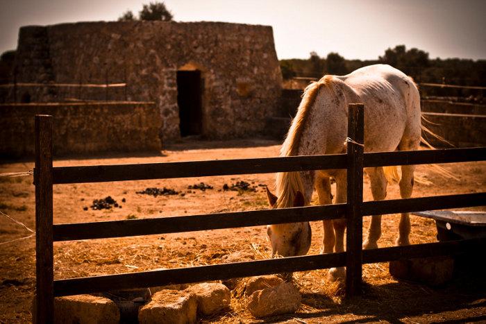 pajara-cavallo-campagna-salento