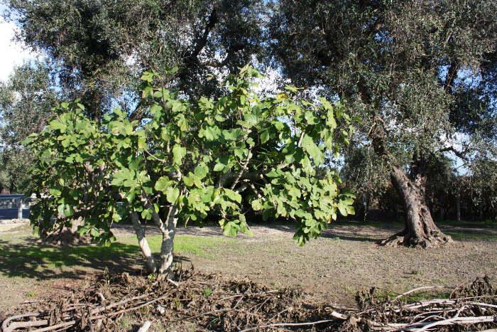 Tempo di fare l 39 olio di oliva the puglia immobiliare for Albero fico prezzo