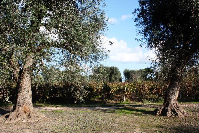Tempo di fare l'olio di oliva