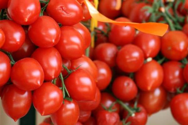 pomodori-regina-torre-canne-puglia