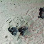 Nate le tartarughe caretta caretta a Torre Lapillo, Porto Cesareo
